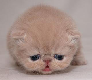 Cachorro de gato triste