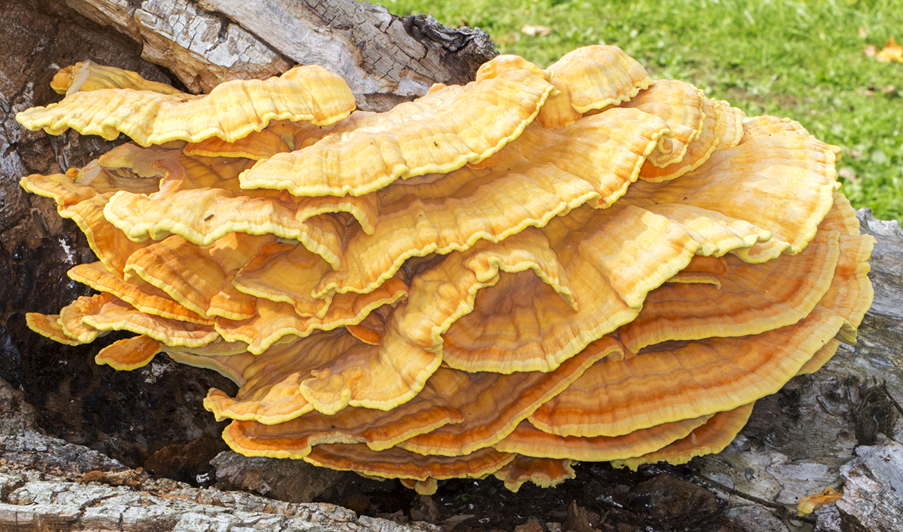 Chicken of the Woods, Laetiporus sulphureus, on felled Oak.  The Knoll, Hayes, on 26 September 2014.