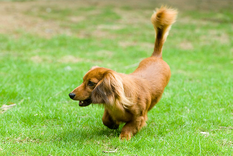 Pictures of Long Haired Miniature Dachshunds | Cute Puppy Pictures