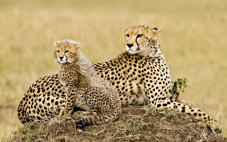 Padre e hijo leopardos - Father and son leopards by Judylynn Malloch