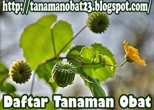 Tanaman Obat Kembang Sore (Abutilon indicum (L.