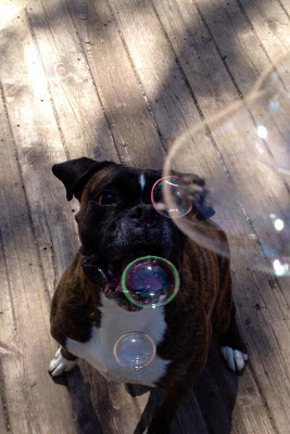 boxer dog chasing bubbles