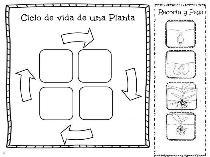 Imagenes Para Colorear Del Ciclo De Vida De Las Plantas I85aGKdpX on Lima Bean Clipart Worksheet Kindergarten