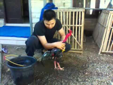 Ayam yang akan diadu terlebih dahulu harus diairi atau di mandikan dan