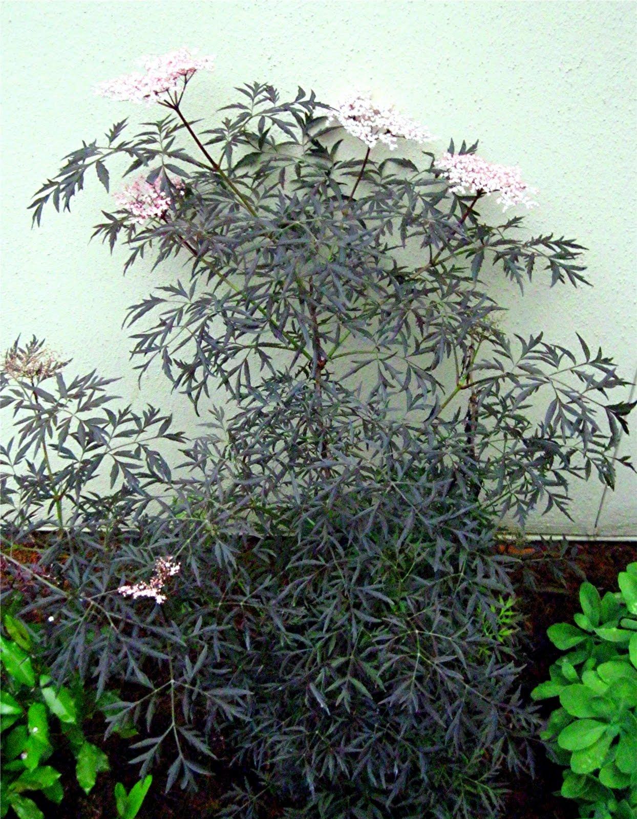 1003 gardens sambucus nigra 39 black lace 39 elderberry at the beltsville library garden. Black Bedroom Furniture Sets. Home Design Ideas