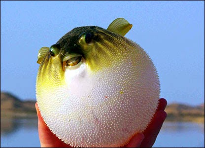 http://www.theguardian.com/science/grrlscientist/2014/dec/04/do-pufferfishes-hold-their-breath-when-inflated