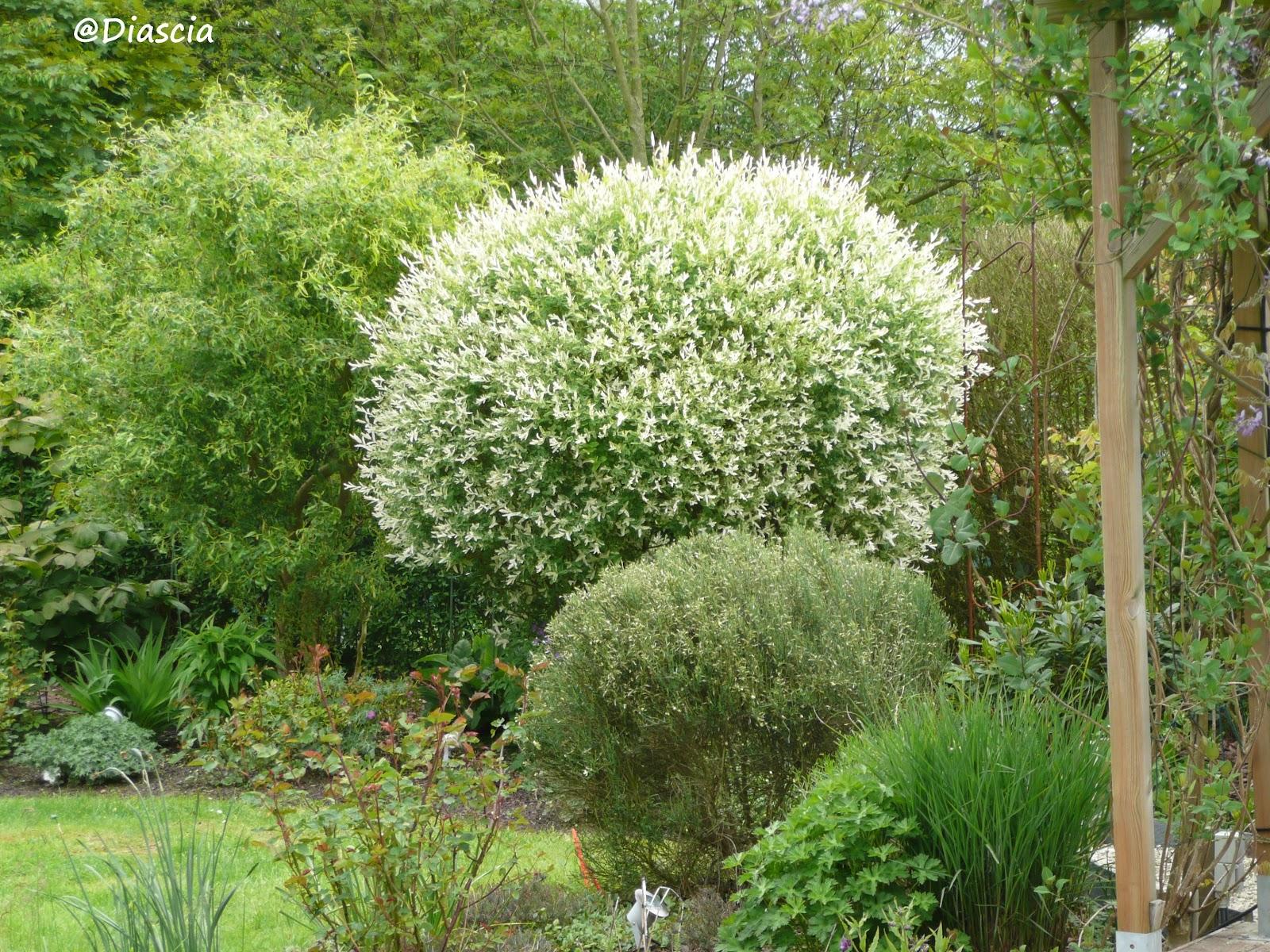 Le jardin de diascia salix integra hakuro nishiki - Salix hakuro nishiki taille ...