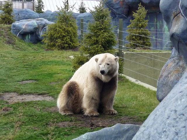 Grolar Bears