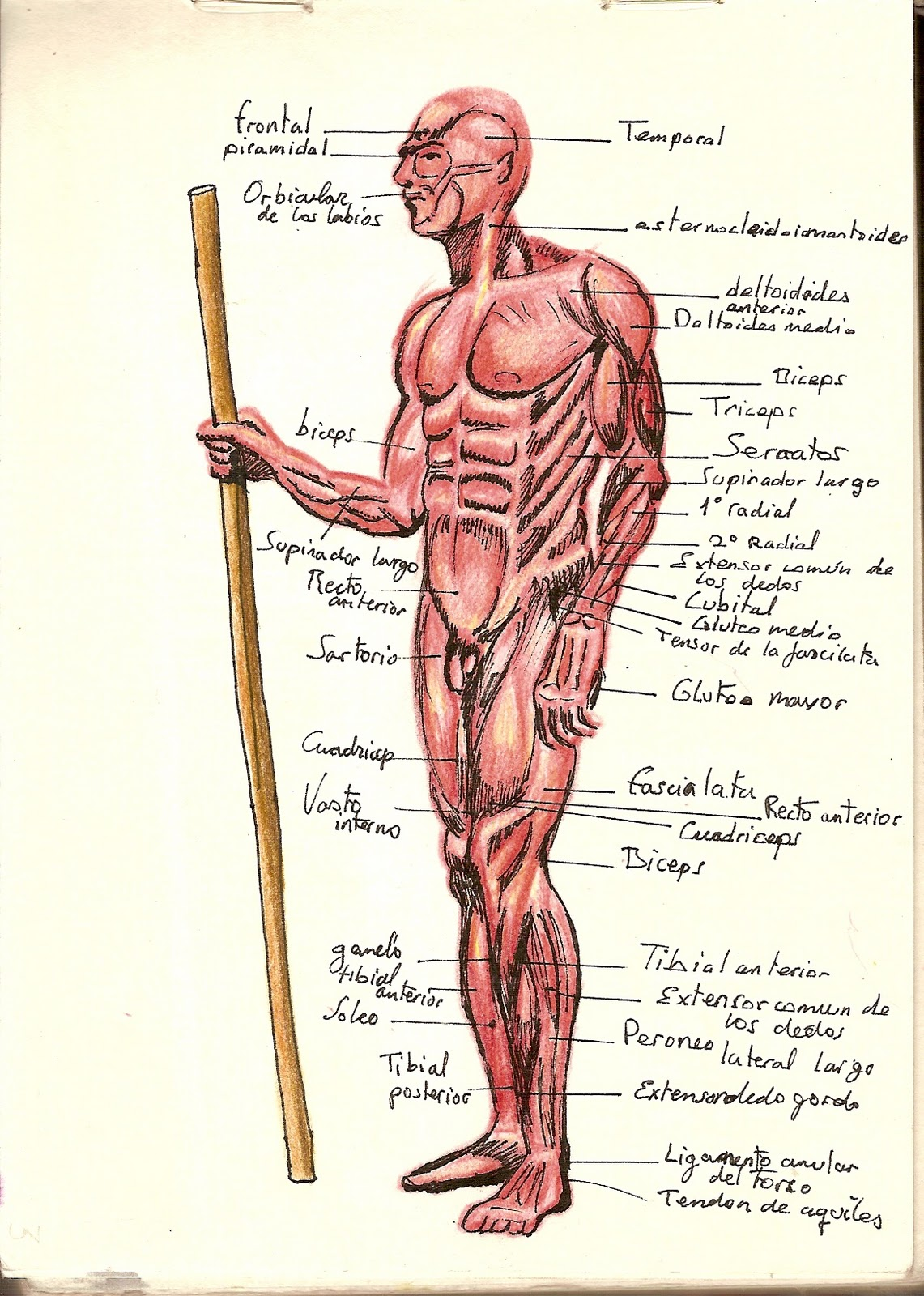 EX CORIS: los musculos del cuerpo ( sin mas)