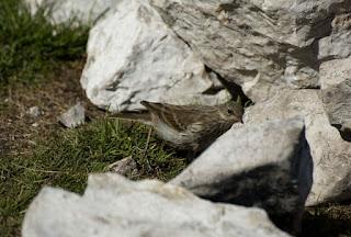 Codobatura de munte Motacilla cinerea