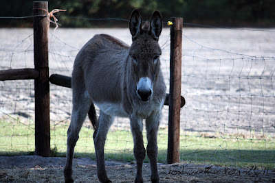 Florida Donkey Staring