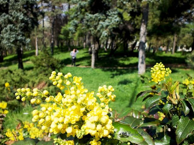 flori galbene parcul carol aprilie 2013