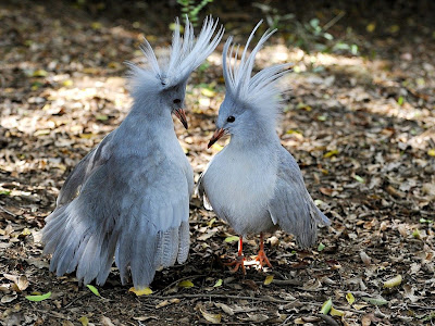 Kagu Bird Photos 4