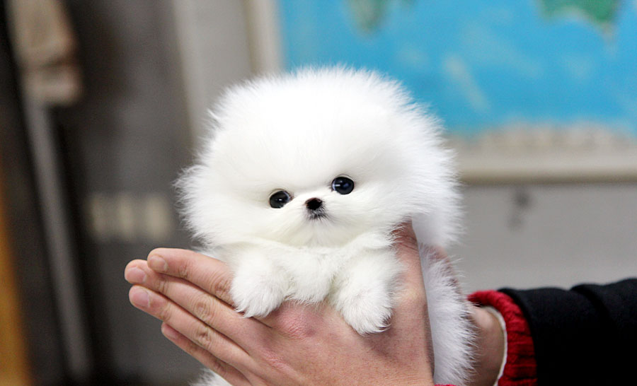 Teacup Puppy Teacup Puppy For Sale White Teacup Pomeranian Addel