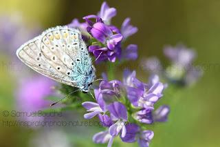 photo macro papillon sur fleur macro insecte argus papillon bleu