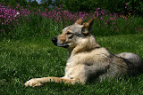 zły Wilk