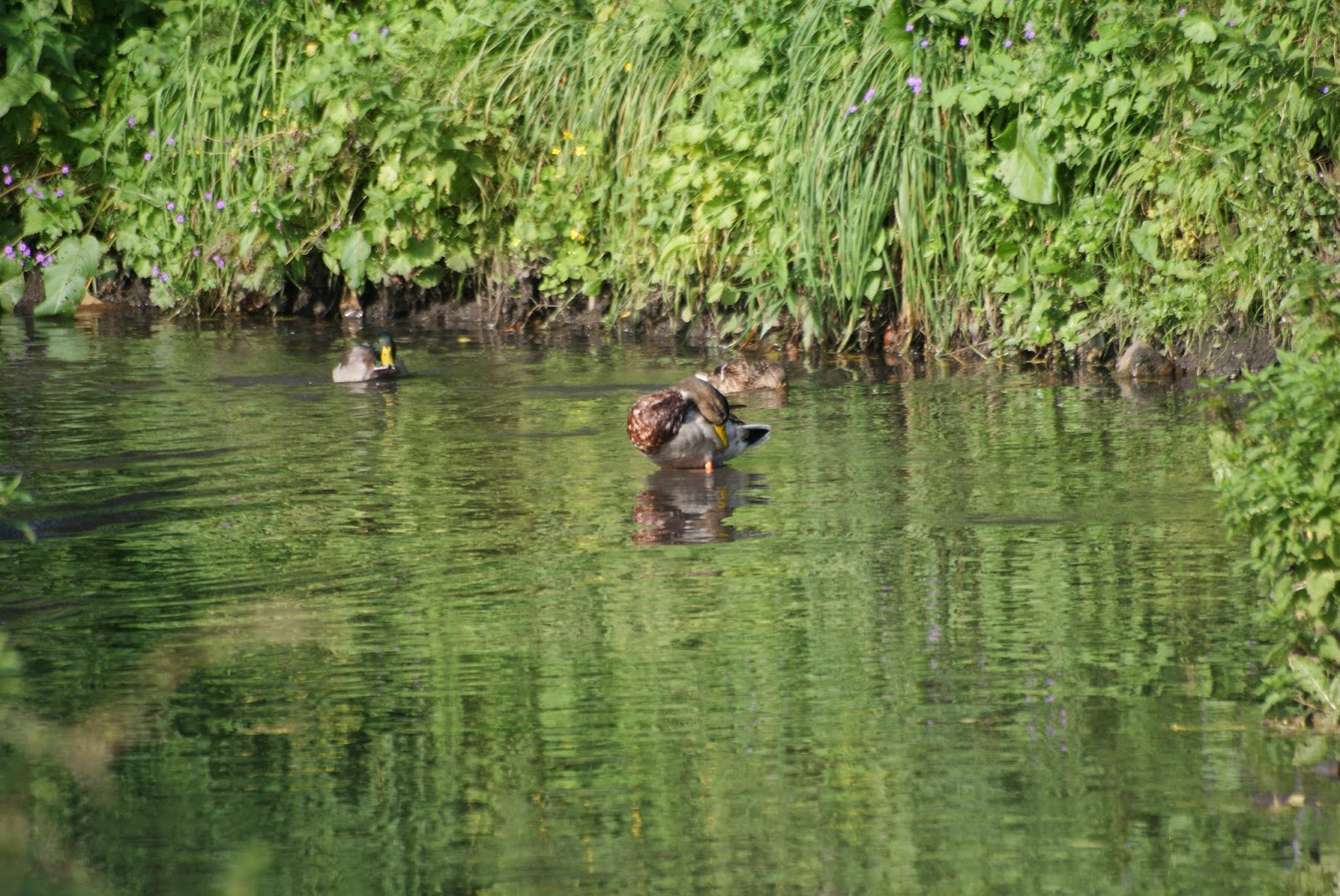 kaczka duck in river