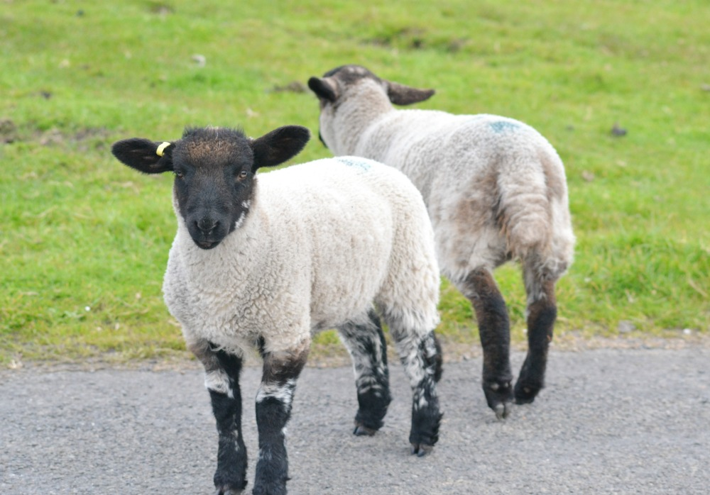 lambs john o groats
