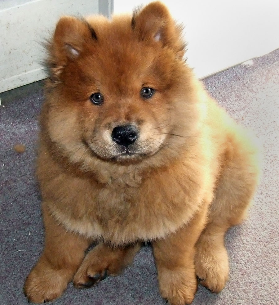Chow Chow | Beautiful Puppy Interesting Facts | Animals Lover