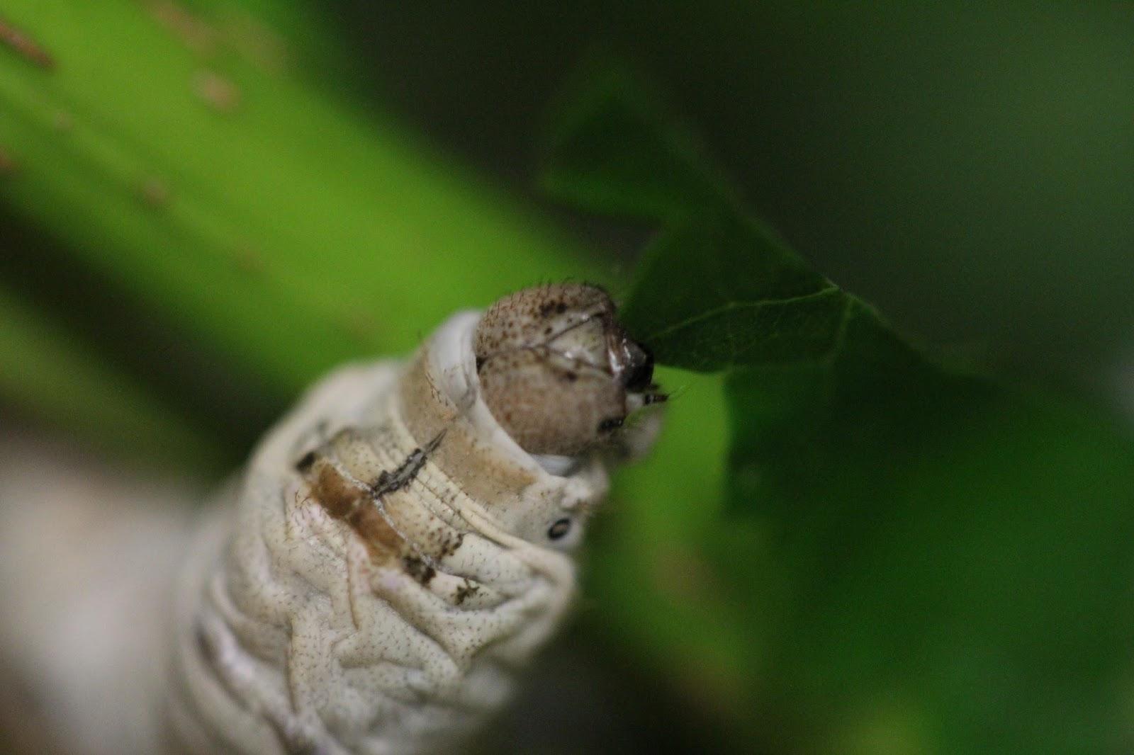 Amazing Silkworms  Anatomy Of The Silkworm Larva