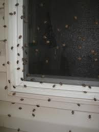 Get Rid Of Stink Bugs Stink Bug Infested Homes How To