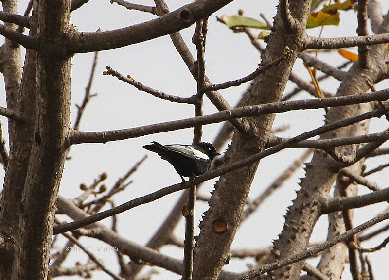 White-shouldered Black Tit in a tree in Gambia
