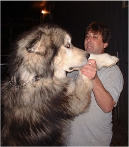 ... alaskan husky will usually live for 10 15 years white alaskan husky