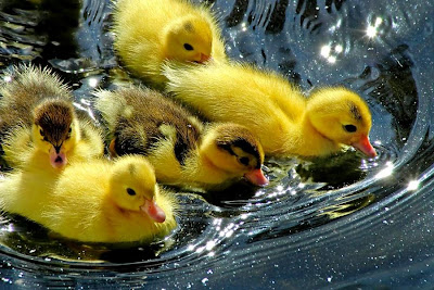 beautiful ducklings, beautiful ducklings latest hd wallpapers, LATEST HD WALLPAPERS OF BEAUTIFUL DUCKLINGS, wallpapers for desktop, wallpapers, background computer wallpaper, hd wallpapers,
