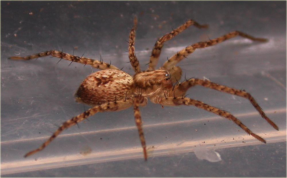 Arachnerds buzzing spider anyphaena accentuata for Extra mural cemetery brighton