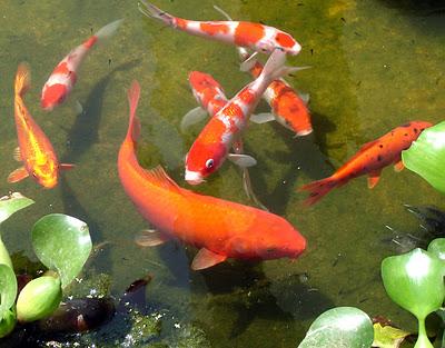 Jardim japon s carpas nishikigoi for Carpas koi para estanques