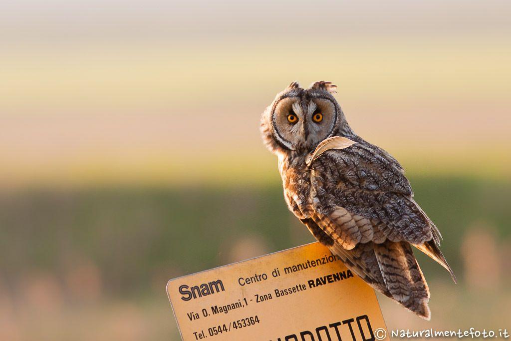 5. Photograph Gufo Comune - Long-eared Owl by Raffaele Tiraferri