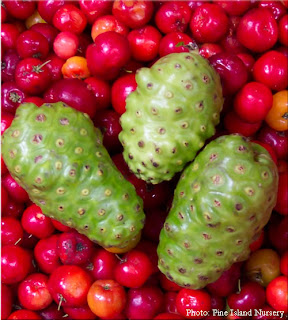 Noni fruit looks like it has eyes all around