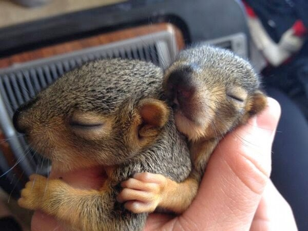 Funny animals of the week - 21 March 2014 (40 pics), funny animal pictures, two baby squirrel sleeping