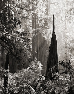 Large Format Black and White Landscape Photograph - Redwood Forest