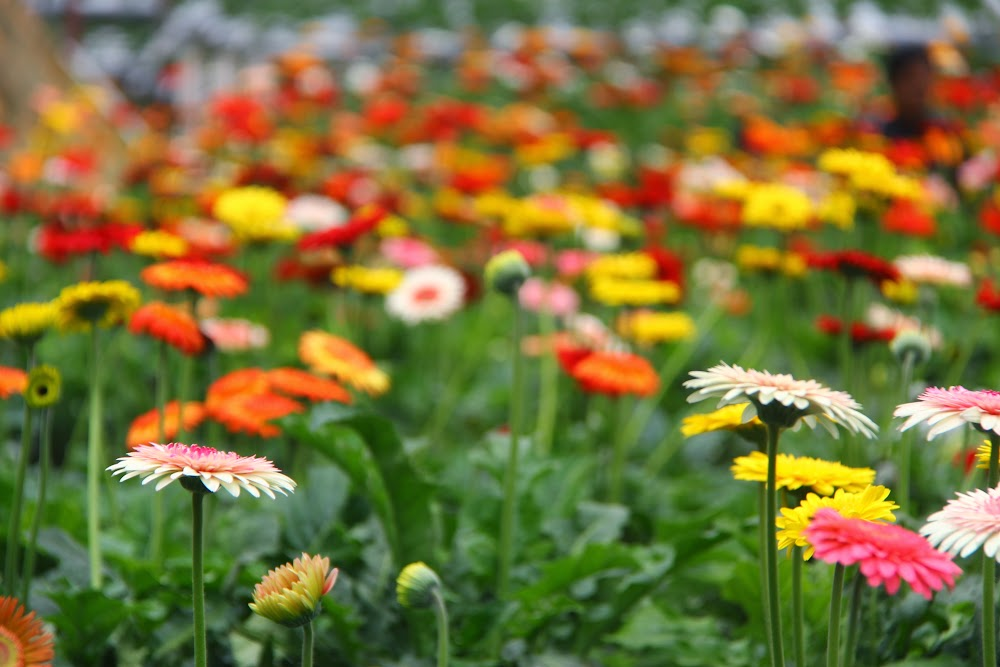 Bunga Gerbera yang berwarna-warni