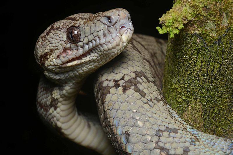 Animal Pictures  Amazon Tree Boa