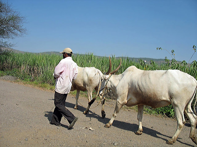 man with his cows