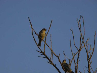 Pássaros Ainda Vivo, inocentes Aprisionados em Casas!