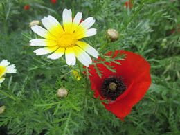 Crown Daisy, Poppy, Crete, April 2016