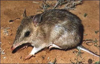 Q Significa Kangaroo El bandicut australian...