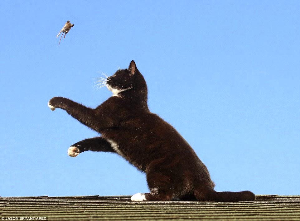 قطة تلعب بالفأر