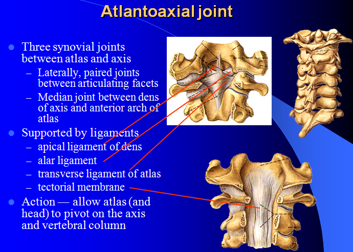 Atlanto occipital joint anatomy