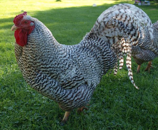 Dominique chickens - photo#2