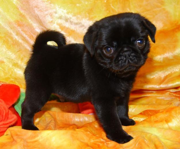 Cute Dogs: Cute pug puppy