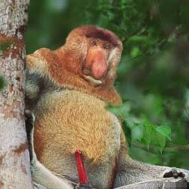 funny proboscis monkey photos   pets cute and docile