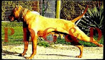 APBT HEMBRA - RED ICE