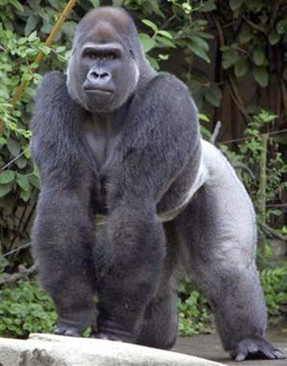 African silverback gorilla - photo#1