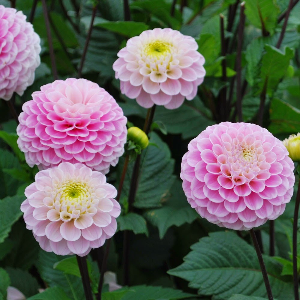 http://www.rosecottageplants.co.uk/dahlia-wizard-of-oz/p721