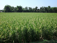 hasil panen padi inpari 13