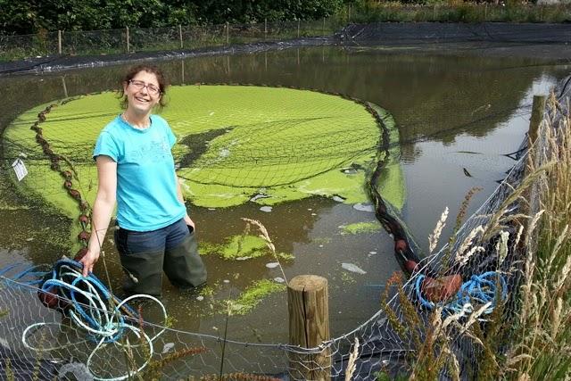 Duck weed is crazy stuff adam byer kohaku breeder for Koi pond removal